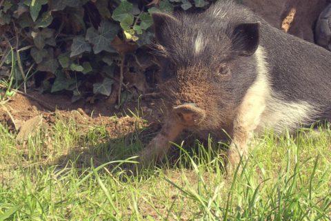 Babyschwein Sammi