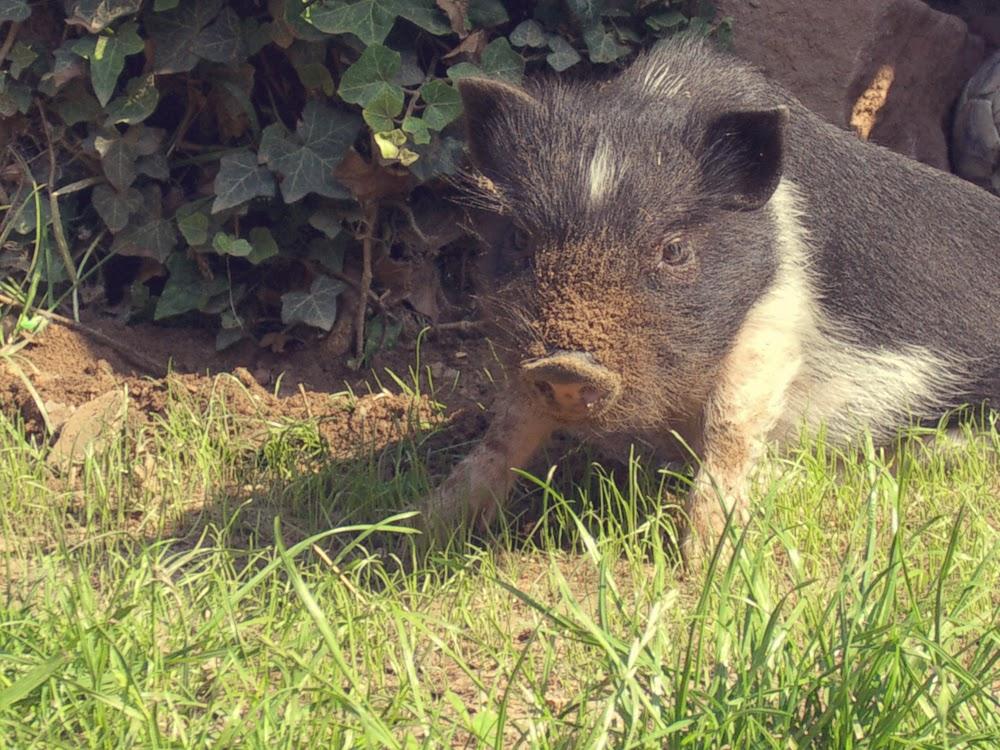 Schweinelovestory #2: Auf's Schwein gekommen