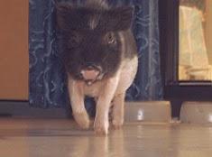 Minischwein Sammi