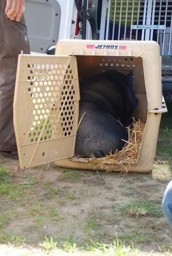 Schweinelovestory #5: Der Schweine-Einzug