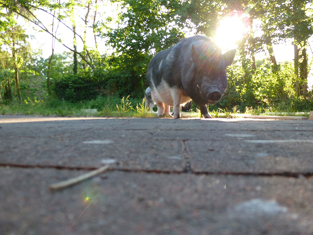 KuneCoco • Schweinelovestory #16 • Vorurteile über Schweine