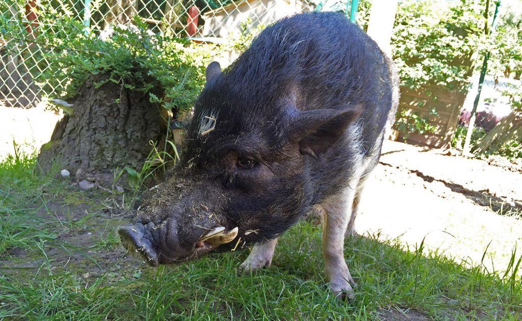 KuneCoco • Schweinelovestory #17 • Sammi